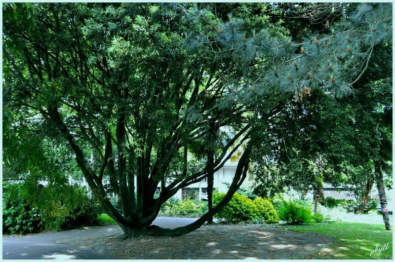 arbre saint Roch